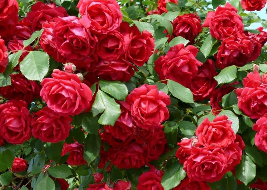 Si te gusta pasar un rato divertido en tu jard n planta - Rosales en macetas ...